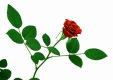 Blühende Rotrose, Mini Stockfoto