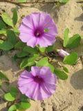 Blühende Sandkriechpflanze Stockfoto