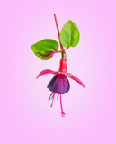 Blühende schöne Blume in den Schatten von roten und purpurroten Fuchsie wi Stockfoto