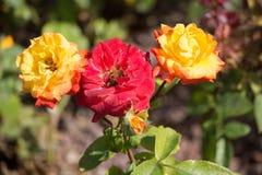 Blühende schöne bunte Rosen im Garten Lizenzfreies Stockfoto