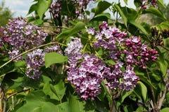 Blühende schöne Frühlingsfliedern Stockbild