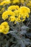 Blühende schöne gelbe Herbstchrysantheme lizenzfreie stockbilder