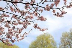 Blühende schöne Kirschblüten, das unsere Welt der Liebe, der Geduld und der Güte unterrichtet stockfoto