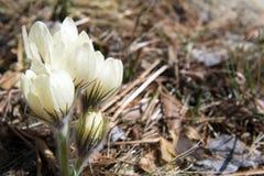 Blühende Schneeglöckchen im Wald Stockfotos