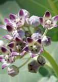 Blühende Seagrape Blumen Lizenzfreie Stockfotos