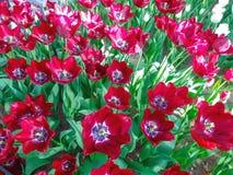 Blühende seltene niederländische tiefrote und blaue Tulpen stockfotografie