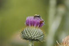 Blühende silberne Distel Stockbild