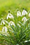 Blühende snowdrops Stockfotos
