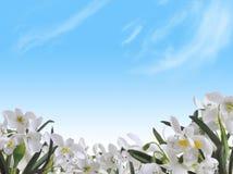 Blühende snowdrops Lizenzfreie Stockfotos