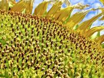 Blühende Sonnenblume Lizenzfreies Stockbild