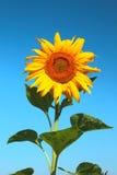 Blühende Sonnenblume Stockbilder