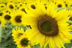 Blühende Sonnenblume auf Feld Stockfoto