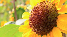 Blühende Sonnenblume der Nahaufnahme stock footage