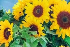 Blühende Sonnenblume mit grünen Blättern Lizenzfreies Stockbild