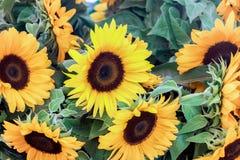 Blühende Sonnenblume mit grünen Blättern Stockfoto