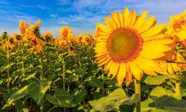 Blühende Sonnenblumen Lizenzfreie Stockbilder