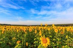Blühende Sonnenblumen Stockfotos