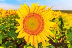 Blühende Sonnenblumen Stockbild