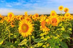 Blühende Sonnenblumen Stockfotografie