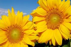 Blühende Sonnenblumen Stockfoto