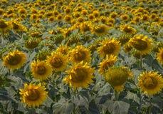 Blühende Sonnenblumen Lizenzfreie Stockfotografie
