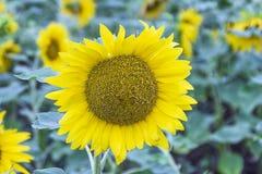 Blühende Sonnenblumen auf dem Feld lizenzfreies stockbild