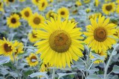Blühende Sonnenblumen auf dem Feld lizenzfreie stockfotografie