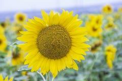Blühende Sonnenblumen auf dem Feld stockbild