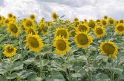 blühende Sonnenblumen auf dem Gebiet lizenzfreie stockbilder