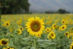 Blühende Sonnenblumen auf dem Gebiet in Thailand lizenzfreies stockbild