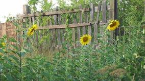 Blühende Sonnenblumen der Blumen nahe Bretterzaun stock video