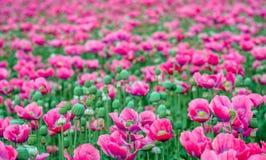 Blühende Stadien von Rosa blühenden Papaveren vom Abschluss Stockfotografie