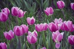Blühende Tulpe blühen am Blumenbeet im Garten Stockbilder