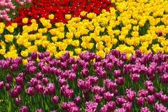 Blühende Tulpen Lizenzfreies Stockbild