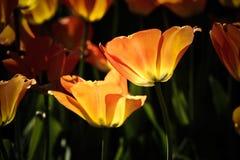 Blühende Tulpen, die in die Sonne glühen Stockbilder