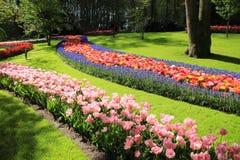 Blühende Tulpen in einer Linie im Frühjahr stockbilder