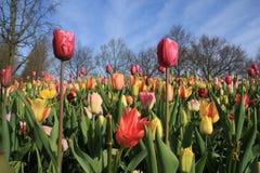 Blühende Tulpen im Garten Keukenhof im Frühjahr stockbilder
