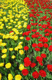Blühende Tulpen von Gelbem und von Rotem in zwei vertikalen Linien lizenzfreies stockbild
