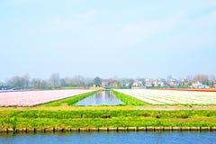 Blühende Tulpenfelder in der Landschaft von den Niederlanden Stockfoto