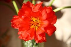 Blühende Tulpennahaufnahme Lizenzfreies Stockfoto
