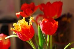 Blühende Tulpennahaufnahme Stockfotos