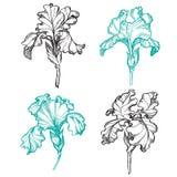 Blühende und Knospungsiris blüht Schwarzweiss-Satz einer Blume von Iris Stockfotos