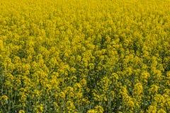 Blühende Vergewaltigung als Hintergrund Stockfoto