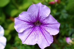 Blühende Violet Purple Petunia Flower Stockfoto