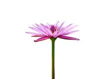 Blühende violette Lotosblume Lizenzfreie Stockbilder