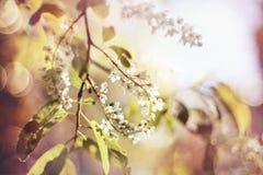 Blühende Vogelkirsche Stockbild