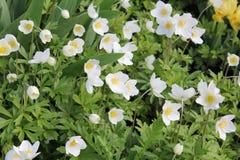 Blühende weiße Anemone im Frühjahr Lizenzfreie Stockbilder
