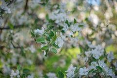 Blühende weiße Apfelbaum-Schussnahaufnahme mit Weichzeichnung stockbild