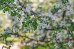 Blühende weiße Apfelbaum-Schussnahaufnahme mit Weichzeichnung stockfotografie