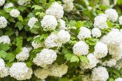 Bl?hende wei?e B?lle des Gartens vibrunum Blume im Fr?hjahr lizenzfreie stockfotografie